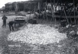 07.02.003: Torbay and area. Caplin flakes on the beach, Torbay, ca. 1900