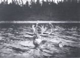 25.02.001: Caribou. Caribou swimming across a river, pre-1908
