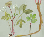 0516 FM Artwork scotch lovage Herbarium 21188 Ayre