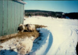 Sheep near an outbuilding in winter