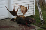 Hunted moose head, Heart's Content.