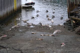 Cod remains being consumed by seagulls in Quidi Vidi.