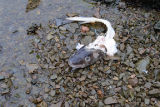 Remains of a cod fish caught during fishery.