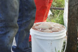 Cod fish caught for the food fishery 1.