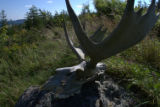 Moose skull on the propety of Dena Wiseman and Ralph Carey