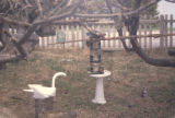 Yard with wooden swan. 1