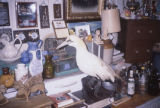 Various items and Gannet taxidermy. 2