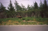 Moose on side of road. Heart's Content