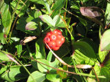"""Crackerberries"": berry picking with Bridget Jacobs, Joe Batt's Arm"