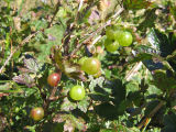 Gooseberries: berry picking with Bridget Jacobs, Joe Batt's Arm