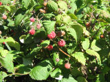Raspberries: berry picking with Bridget Jacobs, Joe Batt's Arm