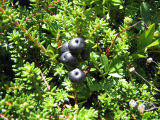 """Blackberries"": berry picking with Bridget Jacobs, Joe Batt's Arm"