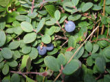"""Blue Herts"": berry picking with Bridget Jacobs, Joe Batt's Arm"