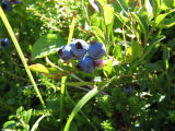 Blueberries: berry picking with Bridget Jacobs, Joe Batt's Arm