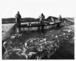 Alphonsus Ducey, Claude Welcher and a student from Memorial University pulling in a cod trap on...