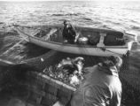 Photograph of two men scooping cod out of a cod trap with two boats, Bonavista Bay