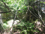 Hibbs Root Cellar, Collapsed with overgrown trees, Portugal Cove-St. Phillips