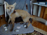 Parrill, Rita.  Taxidermy from a fox trapped by Rita Parrill's husband, Pines Cove.
