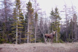 A moose standing near the road, Conche, Newfoundland.