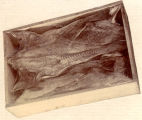Salt cod fish packed in a box.