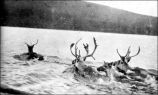 Reindeer swimming in a lake